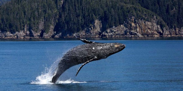 Humpback whale, visiting Prince William Sound in the summer