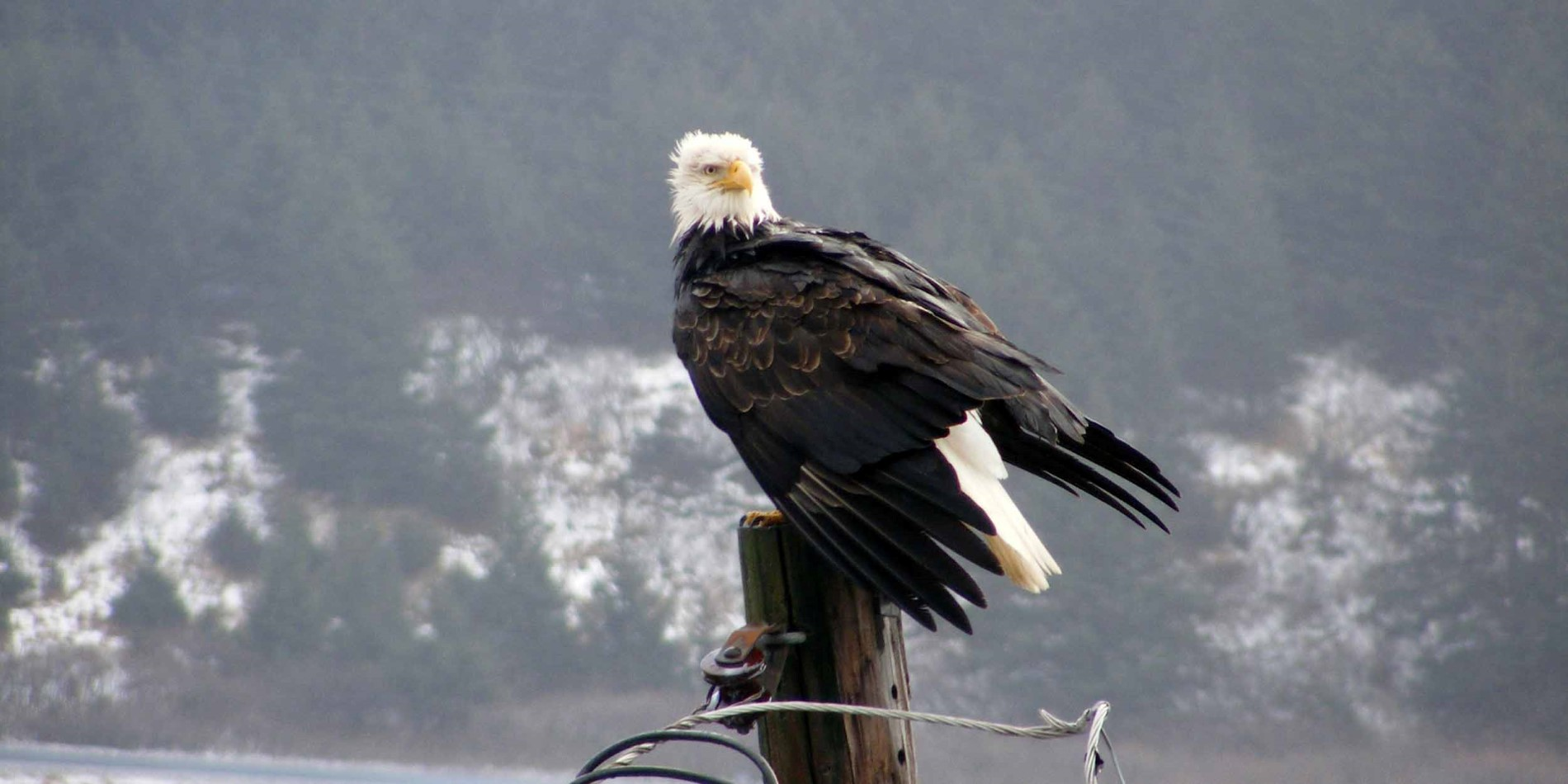 The Bald Eagle in Alaska