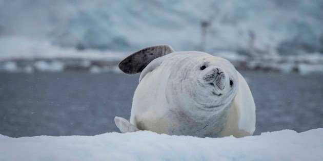 Crabeater seal in the Errera channel, Antarctica