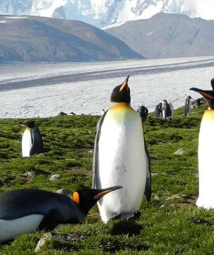The King Penguin colony at Fortuna Bay has tens of thousands of King Penguins against the most spectacular background.