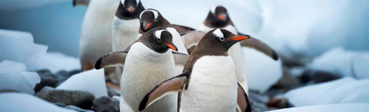 Gentoo Penguins in Cuverville