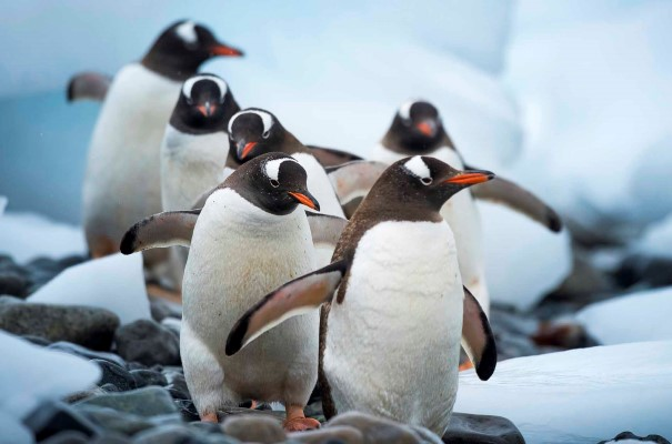 Meet the Gentoo Penguins in Cuverville Island, Antarctica.