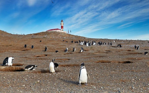 Penguins standing on ground with a lot of holes, nests. Light house in the background.