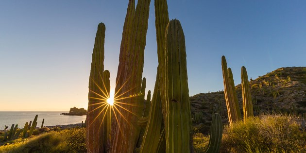 The giant cactuses on Isla Catalina