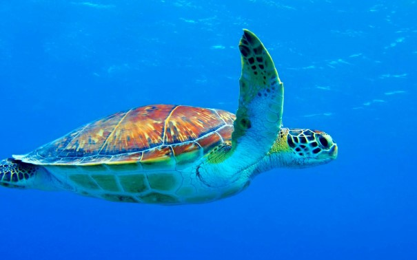 Four species of sea turtle swim the waters around Huatulco.