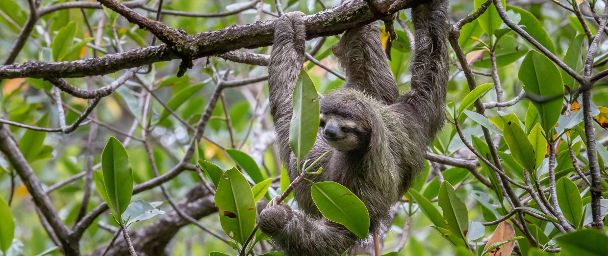 Bocas del Toro is home to rich wildlife like sloths.