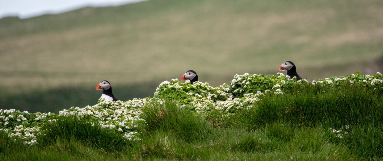 Puffins in the Grimsey area, Iceland.