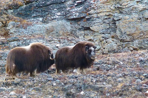 Two musk oxen in Cambridge Bay.