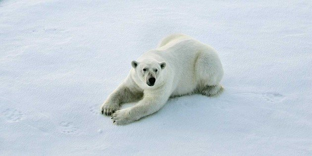 Polar bear on an ice floe, Franz Josef Land, Russia