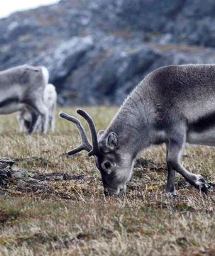 Say hi to the Svalbard reindeer.