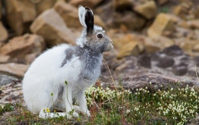 Arctic Hare Lepus arcticus changing from winter to summer coat on Baffin Island.