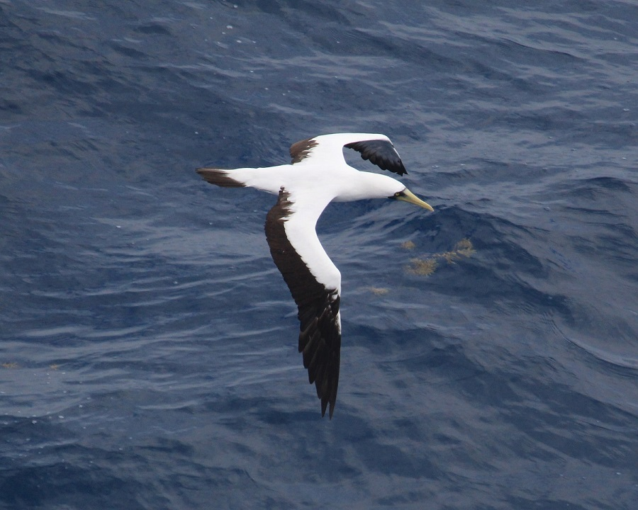 Masked Booby low res.jpg