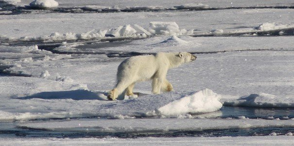 With more polar bears than people, Svalbard provides an excellent chance to see these magnificent predators. Among a large variety of plants and wildlife are seals, thousands of seabirds, the Arctic fox and reindeer and the top predator: the polar bear.