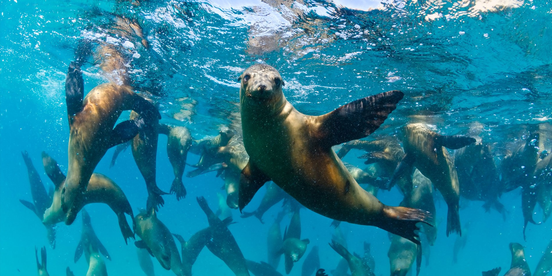 Host of sea lions under water.