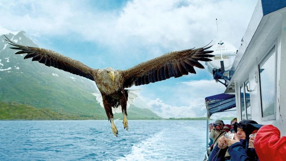 Sea eagle safari Norway wingspan