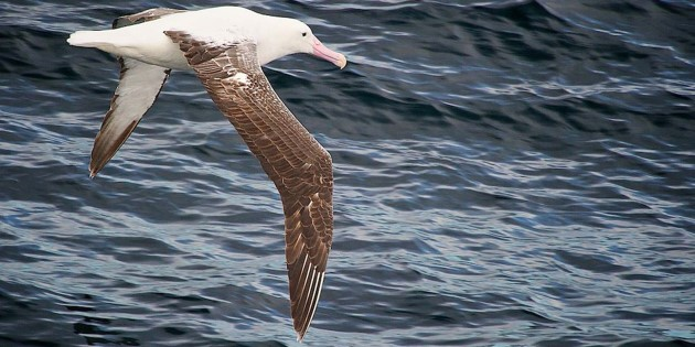 Albatross_South_Georgia_R7S4410.jpg
