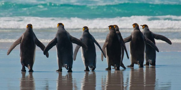 Falkland_Islands_7-penguins-cal.jpg